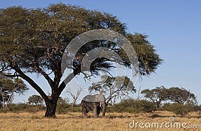 African Elephant under Acacia Tree - Botswana