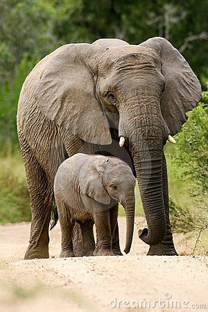 Free African Elephants Stock Image - 4275511