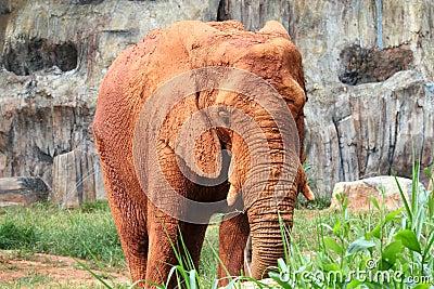 African elephants contaminated mud