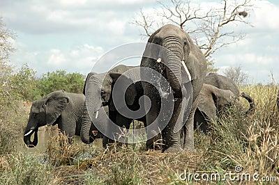 African Elephants drinking