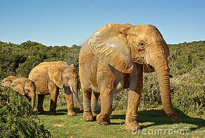 African elephants family walking through bushveld