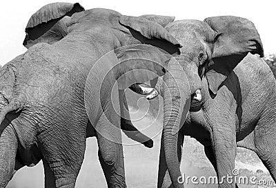 African Elephants fighting - Botswana