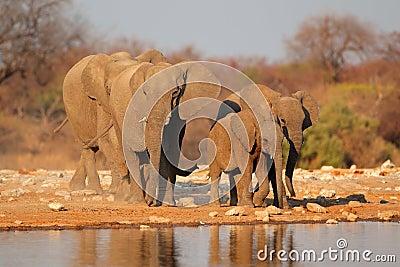 Elephants at waterhole, Etosha