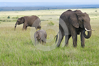 African  elphants