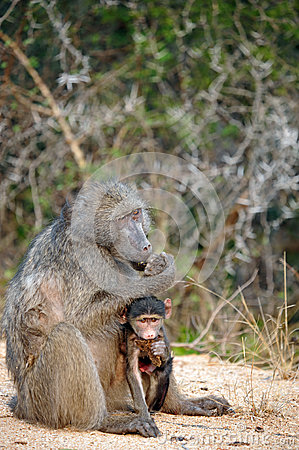 African Female Baboon and her baby
