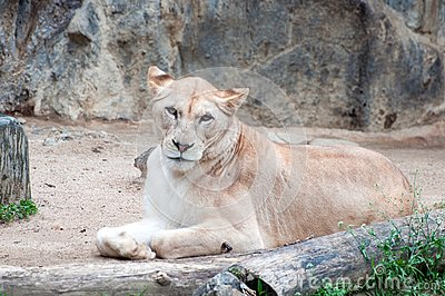 An African female lion cat
