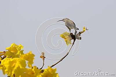 African female sunbird