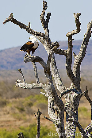 African Fish Eagle calling