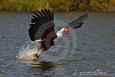 African fish-eagle fishes on the Lake Naivasha