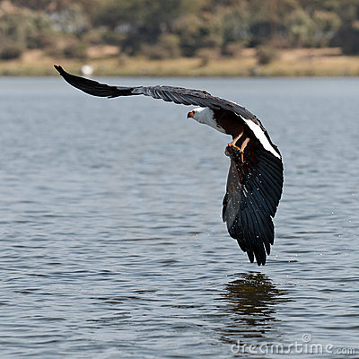 African fish-eagle flies over the lake