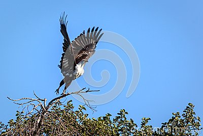 African Fish Eagle, Haliaeetus vocifer, reaches down for its prey in flooded marshland in Okavango