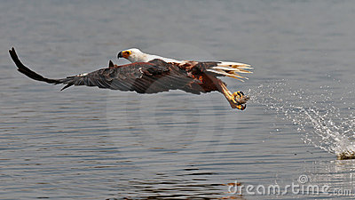 African fish-eagle picks up the fish out of water
