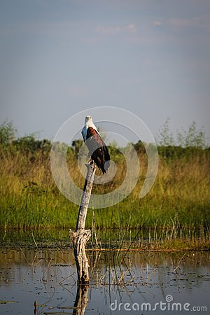 African Fish Eagle searches for prey in flooded marsh