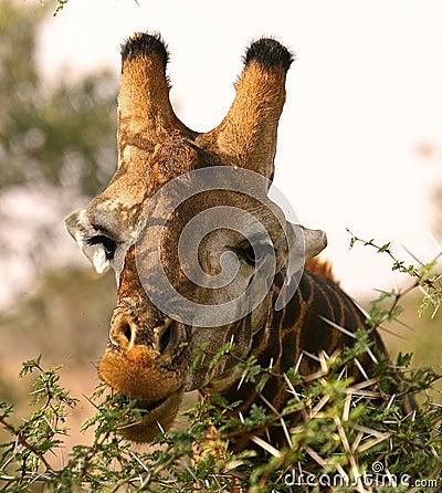 Free African Giraffe Stock Photo - 6248550
