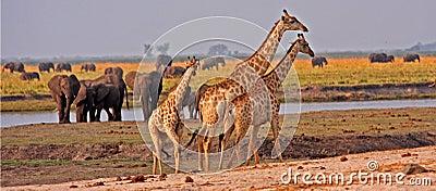 African giraffes.