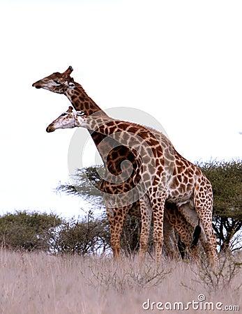 African Giraffes play