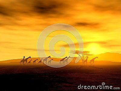 African giraffes at sunset
