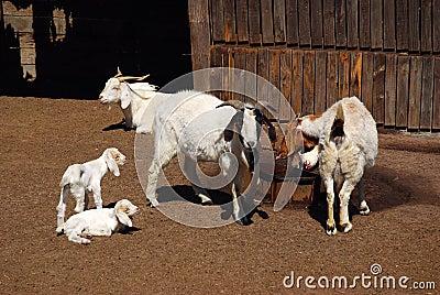 African goat farm