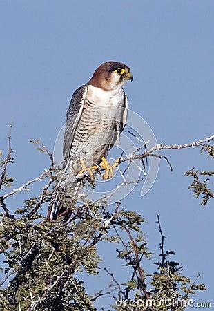 African Goshawk - Botswana