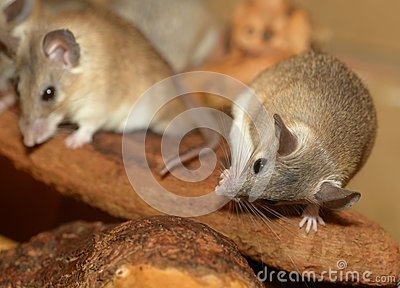 African grass rats cleaning itself
