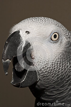 African gray parrot 002