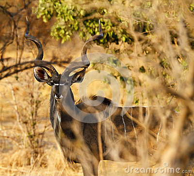 Free African Greater Kudu Bull Stock Photography - 47003762