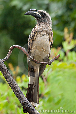 Free African Grey Hornbill Tockus Leucomelas Royalty Free Stock Images - 7649299