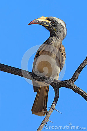 Free African Grey Hornbill, Tockus Nasutus, Portrait Of Grey And Black Bird With Big Yellow Bill, Sitting On The Branch Wit Blue Sky, B Stock Photos - 70955503
