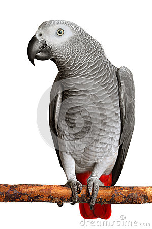 Free African Grey Parrot Stock Photography - 27717322
