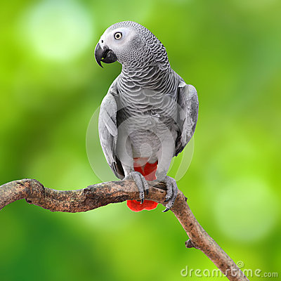 Free African Grey Parrot Stock Photography - 40162902
