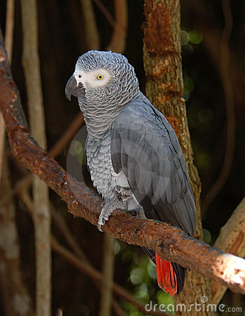 Free African Grey Parrot Stock Photo - 7148050
