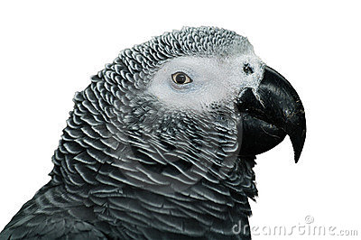 African Grey Parrot detail