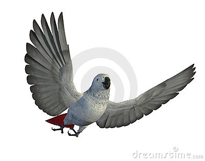 African Grey Parrot Flying