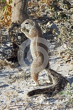 African ground squirrel
