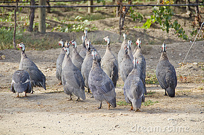 African Guinea Hens in the Vineyard