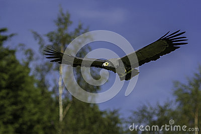 African harrier hawk in flight