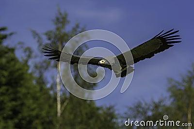 African harrier hawk in flight
