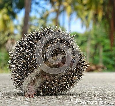 Free African Hedgehog Royalty Free Stock Image - 76326116