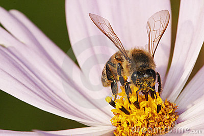 African honey bee gathering pollen