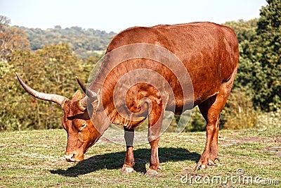 African horned bull