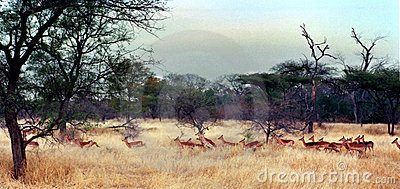 Impala Herd, Zimbabwe Africa