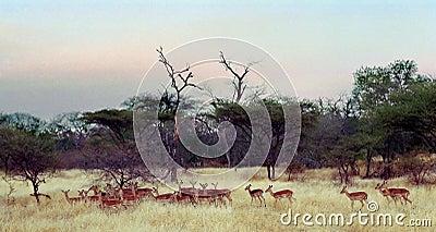 Impala Herd Zimbabwe Africa