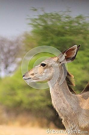 African Kudu Antelope - Blur of Bush