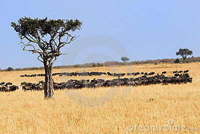 African landscape with antelopes gnu