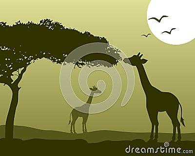 African Landscape & Giraffes