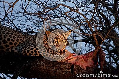 African leopard feeding