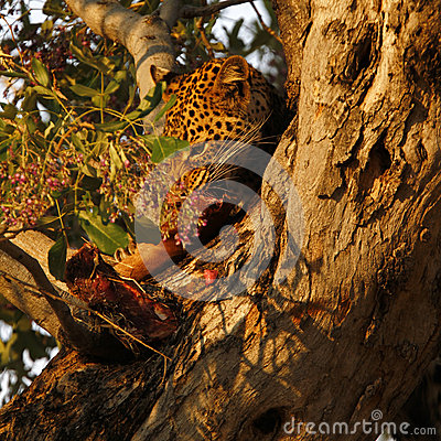 Free African Leopard High In A Tree Stock Image - 46965091