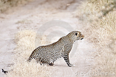 African leopard  prowling while  chasing antelope