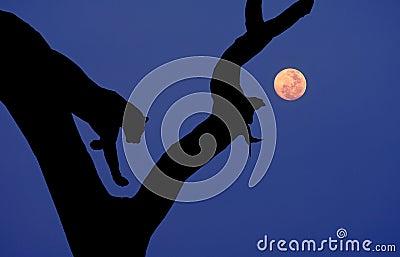 African leopard silhouette tree moon