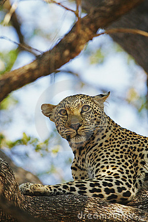 African Leopard watchful on pray in tree